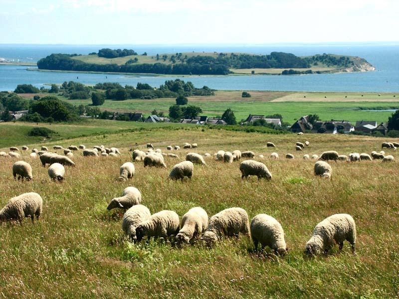 Schafe bei Klein Zicker - Thiessow